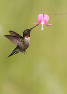 humming bird on bleeding heart